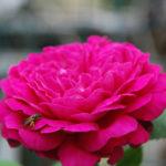 Scrivia Valley Rose