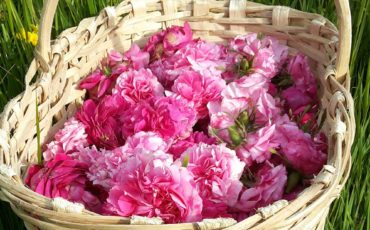 Classic roses in natural environment
