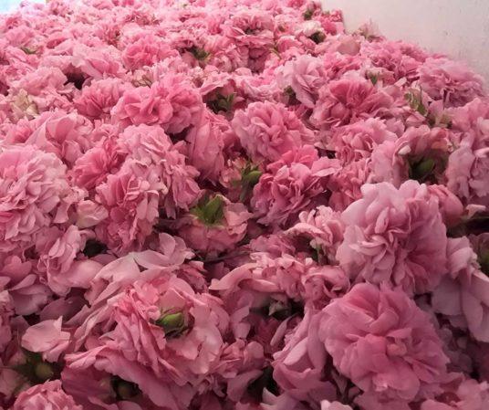 Le rose damascene