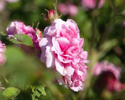 Le potenti proprietà delle Rose della Valle Scrivia